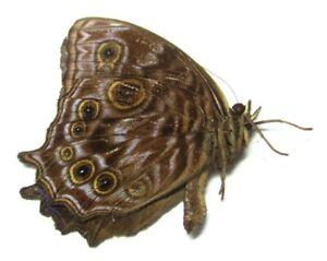 005 NE : Butterflies: Ptychandra negrosensis male male 30.5mm****************
