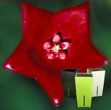 SELTEN - Hoya sussuela - RAR - Porzellanblume - inkl.TOPF+Substrat