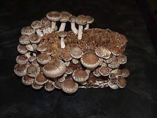 Indoor Gourmet Shiitake Mushroom Kit-grow shiitake on a tabletop!! Spores Spawn!