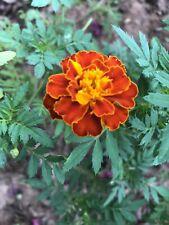2oz Marigold Seeds