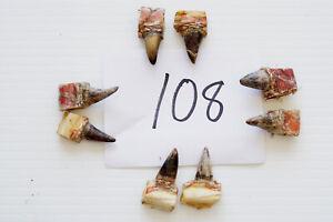 """5/8-3/4"""" SINGLE SPURS, EASTERN WILD TURKEY LOT OF EIGHT lot #108"""