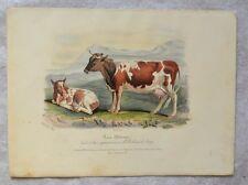 Lithographie XIXème Couleur et Gommée - Vache et Veau - Hermann Eichens