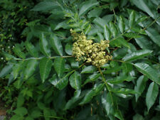 Rhus copallina ( 10 seeds/graines )