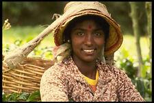 538032 Worker  Boh  Tea Plantation Malaysia A4 Photo Print