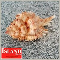 BIG! Murex problematicus w/o 68.5mm EXQUISITE NEAR-GEM from the Philippines