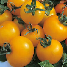 Tomate-Golden Sunrise - 75 Semillas