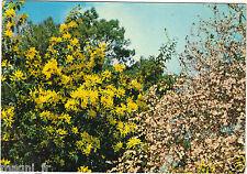 17 - L'île d'Oléron - Hiver en Oléron - Mimosa et Prunus en fleur ( i 5221)