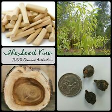 5 INDIAN SANDALWOOD SEEDS(Santalum album) Sacred Timber Essential Oil Medicinal