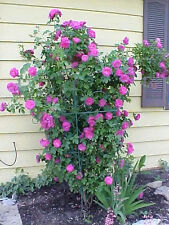 5 PURPLE CLIMBING ROSE Rosa Bush Vine Climber Fragrant Butterfly Flower Seeds