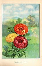 """1926 Vintage GARDEN FLOWER """"ZINNIA"""" GORGEOUS COLOR Art Print Lithograph"""