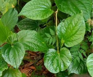 Starter Plant Betel Leaf Lá Lốt Lalot Piper Sarmentosum