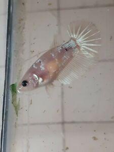 Betta fish live female Hmpk color full eggs #14