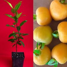"Eugenia Luschnathiana PITOMBA Potted PLANT Fruit Starter Pot Tree 6""-12"""
