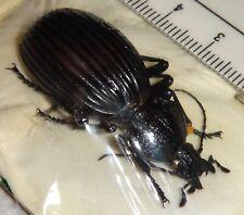 Carabidae Carabid species Ethiopia A1 Beetle Insect Carabus Calosoma