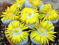 Lithops Geyeri, rare living stones exotic mesembs rocks succulent seed 15 Seeds