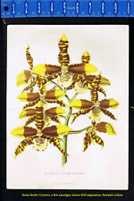ODONTOGLOSSUM GRANDE-Orchid- Mackenzie Chromolithograph 1875