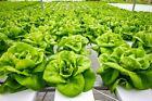 Bibb Lettuce (Butterhead type) Heirloom Vegetable 900seeds.Buy3 get 4th for free