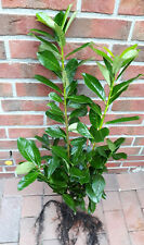 10 Kirschlorbeer - Pflanzen, Prunus Novita, Heckenpflanzen (Höhe: 70-80 cm)