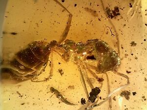 Large Cretaceous Burmite Burmese Amber Fossil Ant SA10 0.92g