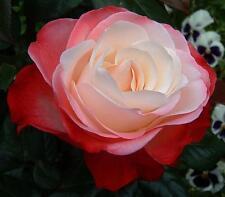 Nostalgia Rose Seeds (20) - USDA Inspected - Free Shipping - USA Seller