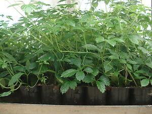 Jiaogulan Kraut der Unsterblichkeit 1 kräftige Pflanze im 4CmTopf Frauenginseng