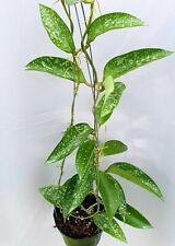 Hoya pottisii splash [B29J1],1 pot rooted plant20-22 inchesUnique!