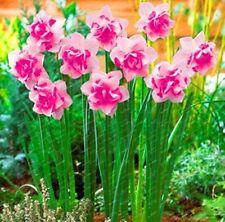 Pink Narcissus (Daffodil Bulbs) Pond Aquatic Plant Bonsai Flower Bulbs - 2pcs