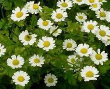 Feverfew'Parthenium& #039;🌼50+Seeds🌼Herb·Edible·Medicinal·Annual ·Flowers