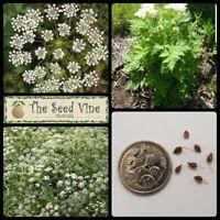 100+ ORGANIC ANISE SEEDS (Pimpinella anisum) Liquorice Herb Companion Plant