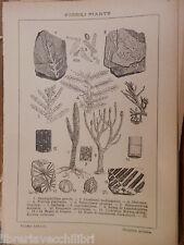antica stampa da incorniciare FOSSILI PIANTE DIATOMEE FRUTTI DI CICADEE KNORRIA