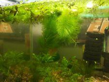 HORNWORT - LIVE AQUATIC PLANT FOR AQUARIUM