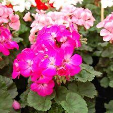 Fleur-Aubrieta deltoidea-Mélange Royal 1500 graines-Gros