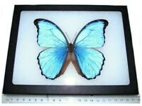 Morpho didius REAL FRAMED BUTTERFLY BLUE PERU