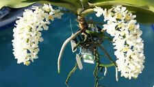 Orchid Vanda Rhynchostylis gigantea Alba Fragrant Exotic Tropical Plant