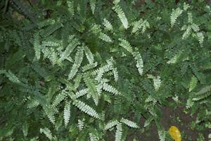 Fern spore - Adiantum diaphanum  (Filmy Maidenhair Fern)