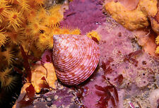 Pink Top Shell postcard