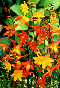 CROCOSMIA PERENNIAL BULBS/CORM SUMMER BLOOMS FLOWER GARDEN BEDDING PLANT NOW