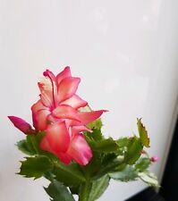 "Red Christmas Cactus/Zygocactus. Schlumbergera Truncata ""Thor Alice"". 9cm pot."