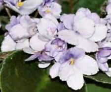 ~African Violet Live Baby Plant *Wisteria* Purple & White Blend Standard 🌿