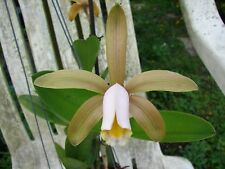 Wow Cattleya forbesii Brown Bloom size Bare root Nice Species