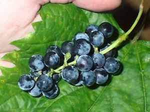 Arizona Grape, Canyon Grape (Vitis arizonica) - 100 seeds