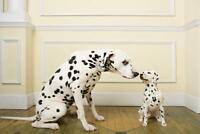 Dalmatian Mom Nuzzling Her Baby Photo Art Print Poster 24x36 inch