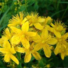 Seeds Herb Hypericum Medicinal Tutsan Plant Organic Russian Ukraine