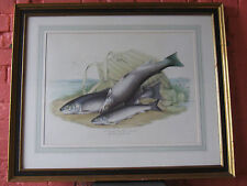 William Jardine Bart,Sea Trout,Fishing Art,Sea Trout of Solway Firth.Salmon