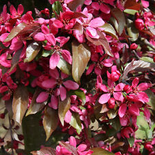 Malus Profusion Improved Tree 12 litre Pot  Standard Feathered Tree