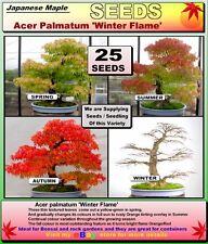 BONSAI SEEDS: Acer Palmatum- WINTER  FLAME -25 x SEEDS