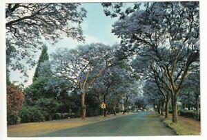 A Big Game Photography Post Card of Jacaranda Trees In Bloom, Rhodesia.