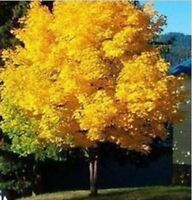 45pcs/Lot Norway Maple Rare gold Tree seeds For Home Garden, Fast Grow