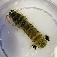Exotic Live Blacktail Mantis Shrimp Wysiwyg saltwater aquarium