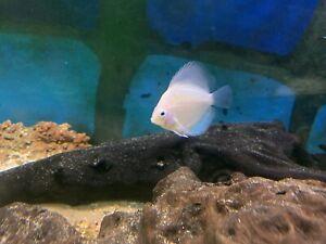 "Snow White Discus Tropical Fish Beautiful Discusmodo Colour 3"""